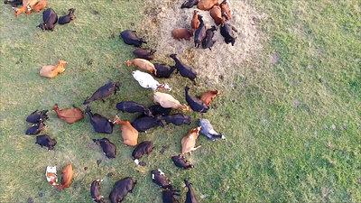 Flight Over Cows In Meadow 4
