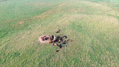 Flight Over Cows In Meadow 6