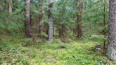 Flight Between Trees In Forest 3