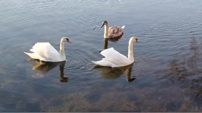 Swimming Swans 5